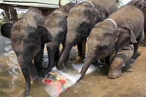 Baby elephants eating their iceies