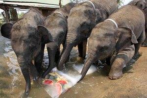 Baby elephants eating their iceies