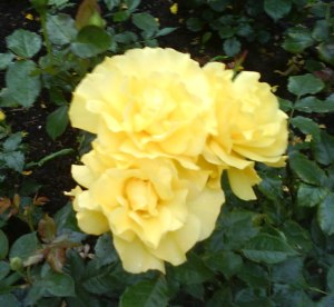 Golden rose of summer